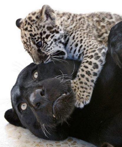 Пантера и леопарденок!