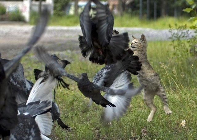 Котёнок ловит голубей