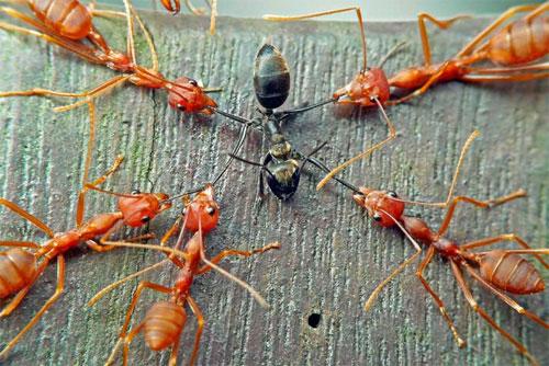 Война красных муравьев с черным