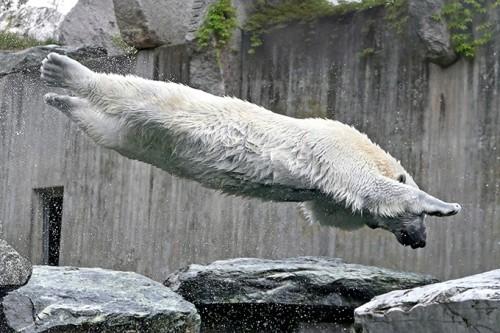 Белый медведь в прыжку