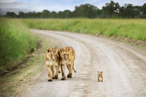 две львицы и львенок