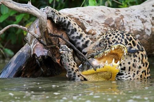 Ягуар добивает крокодила (Patrick Fagot, BIOSPHOTO)