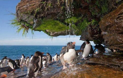 Рокхоппер - северный хохлатый пингвин, Фолклендские острова. (с) burrard-lucas.com